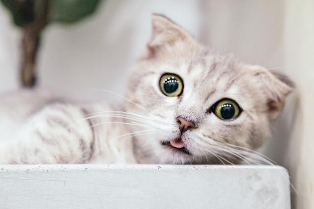 Suurte silmadega kass