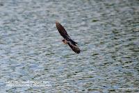 旋回するツバメの写真