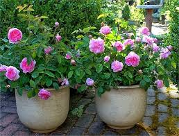 Grow Roses In The Pot