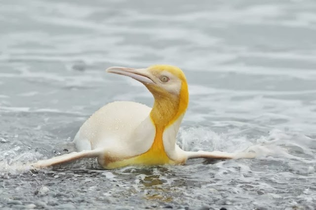 On South Georgia Island, there is a rare yellow penguin, and biologists can't describe it very well.