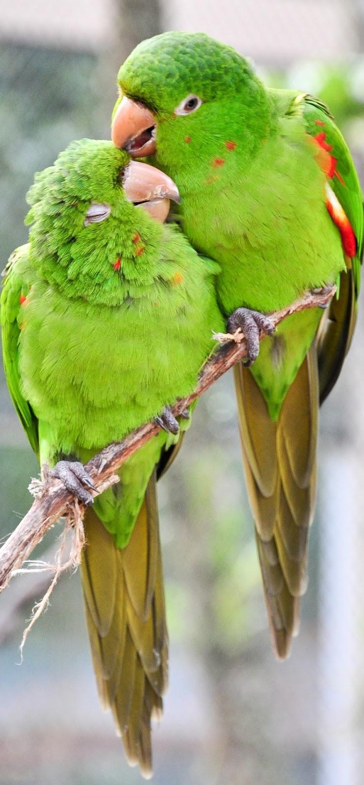 Parrots in love.