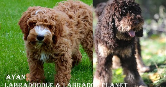 OBTAIN ANY KIND OF HEALTHY DOG BREEDS INCLUDING THE LOCAL LABRADOODLE BREEDERS FROM OUR SHOP HOUSE