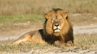 Singa yakni binatang mamalia yang mempunyai wilayah teritorial yang cukup luas Ciri-Ciri Singa