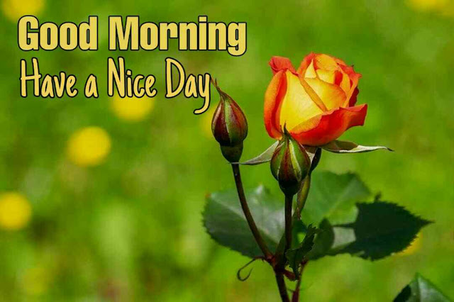 Good morning images with rose flower