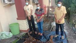 Polda Bengkulu Berhasil Menangkap Tiga Orang Penjual Organ dan Kulit Harimau di Bengkulu