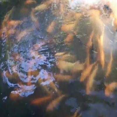 Umpan alami ikan mas di sungai memang banyak sekali, dari yang bisa kita cari sampai yang tidak nampak oleh mata kita, karena ikan tau apa yang akan ia makan dan sedangkan kita tidak tau. Namun tetap saja ada umpan yang asli untuk pakan ikan mas liar ini, terutama yang masih asli hidup di sungai, bila kalian pancing dengan makan favorit ikan mas sungai ini sudah pasti akan panen besar