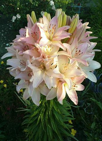 Лилии кустовая фото цветов