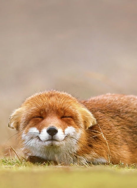 I mean just look at that face! #fox #adorable #face #cute