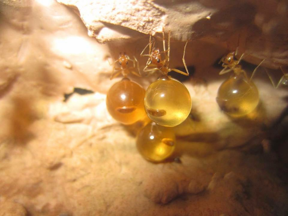 Semut Pot Penyimpan Madu Yang Unik Ini