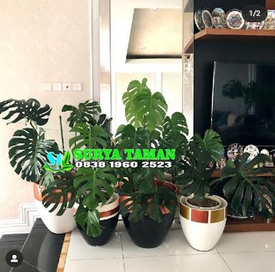 Jual Tanaman Hias Indoor - SuryaTaman