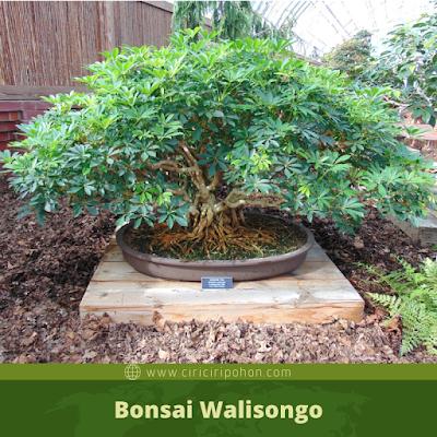 Bonsai Walisongo