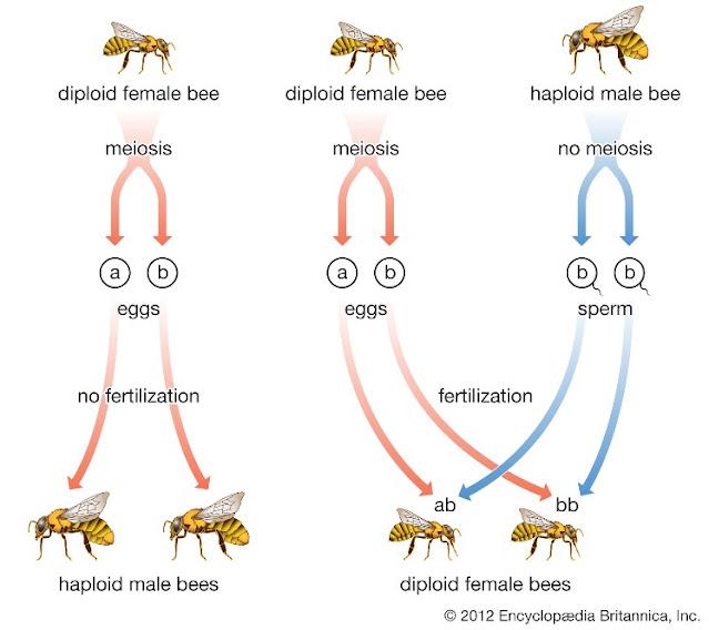Determinasi seks pada lebah madu