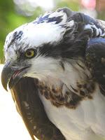 Danu the Osprey
