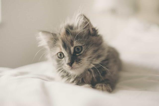Chatons contre chats adultes: Comment choisir ce qui vous convient le mieux