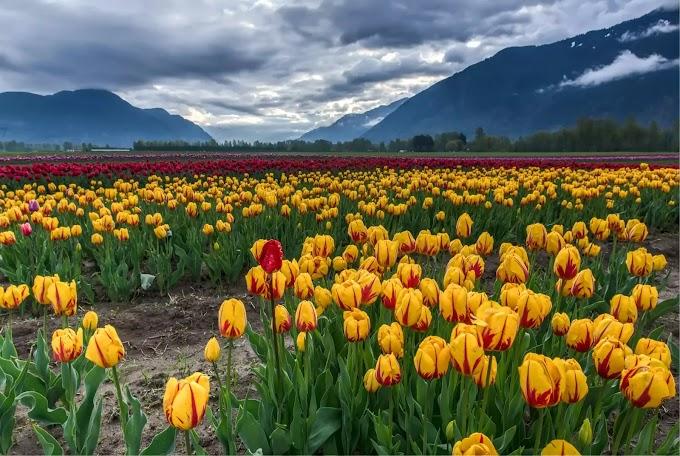 Tulip Garden & Tulip Festival in Srinagar