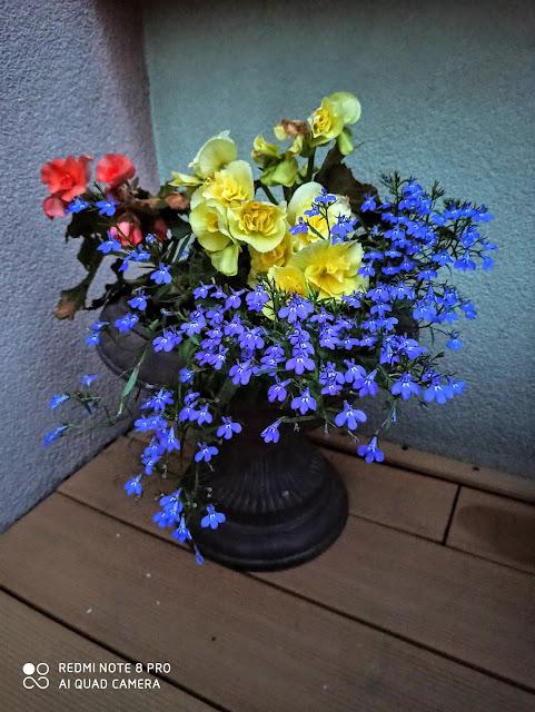 jak dbać o begonie