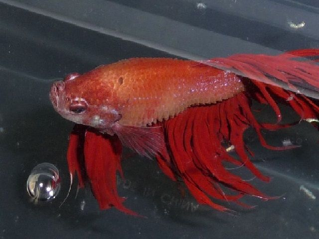 Penyakit Ikan Cupang Selaput Embun