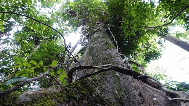 Pohon ulin berasal dari Kalimantan