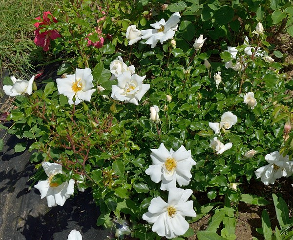 White Haze сорт розы фото саженцы
