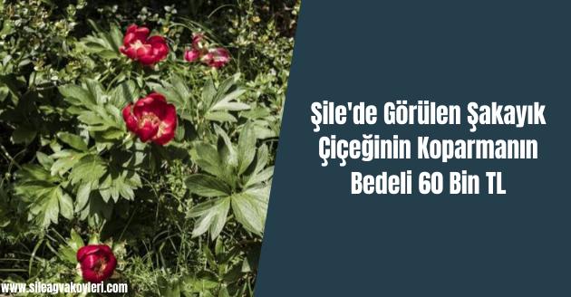 Şile'de Görülen Şakayık Çiçeğinin Koparmanın Bedeli 60 Bin TL