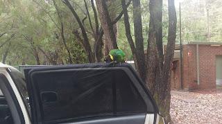 Papuga próbuje wejść do samochodu w Australii