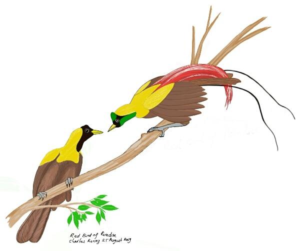 Burung Surga Merah (Paradisaea rubra)