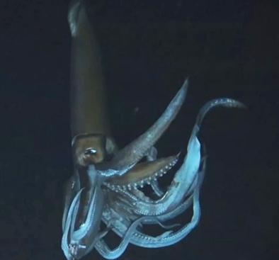 Aaron: Giant squid facts