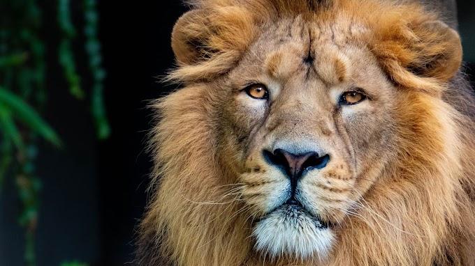Leão, Animal, Rei, Grande Gato, Predador