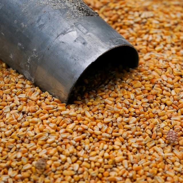 Preços do milho brasileiro atingem maior patamar em 4 anos com demanda aquecida
