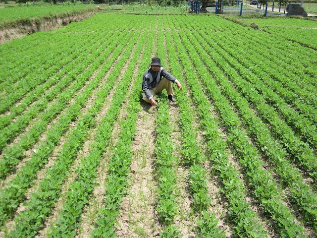 Keuntungan dan Kerugian Budidaya Kacang Tanah