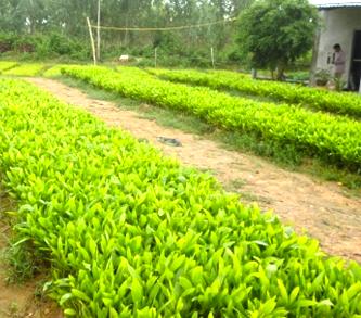 Kỹ thuật chọn cây giống keo lai giâm hom trồng rừng đạt hiệu quả kinh tế cao