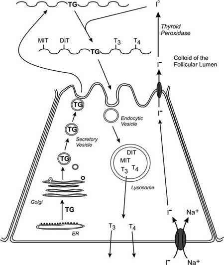 Biosynthesis of the thyroid hormones