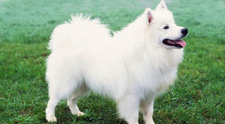 American Eskimo Dog Dog Breed