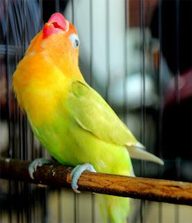 lovebird master, lovebird masteran