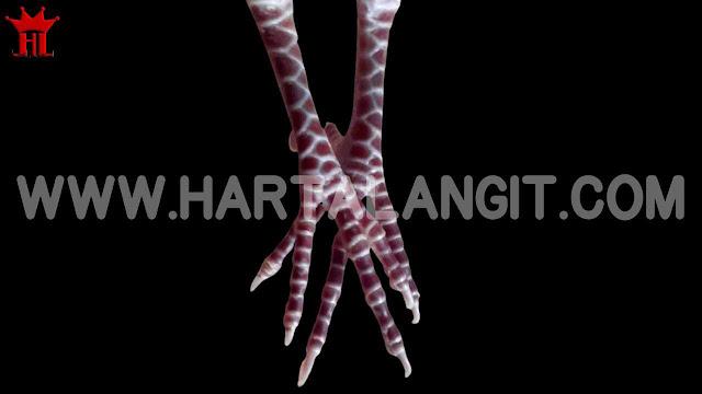 gambar sisik kaki perkutut rojowono