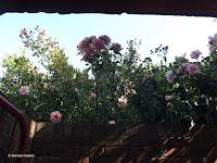 More climbing roses, Mona Vale Garden - Christchurch, New Zealand
