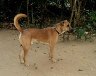 Kombai dog picture