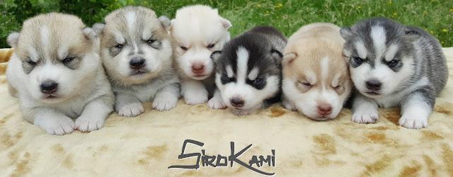 cachorro husky siberiano SIROKAMI