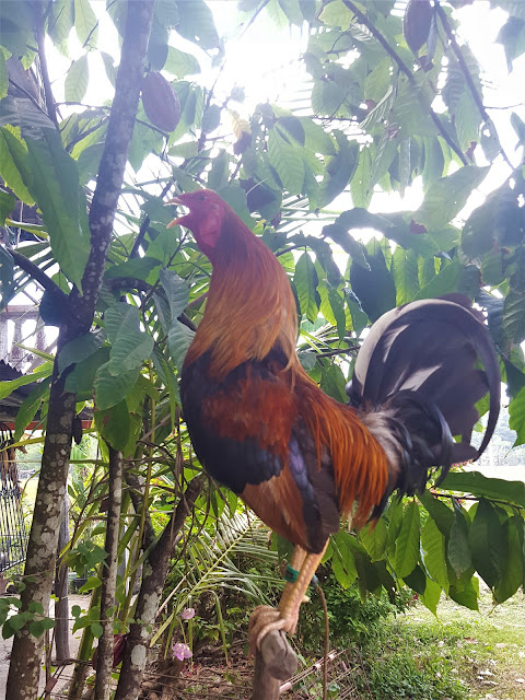 Rooster in the Philippines