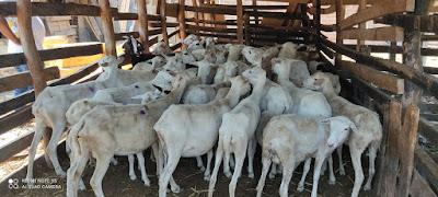 hoyennoticia.com, En Los Venados robaban ovejas