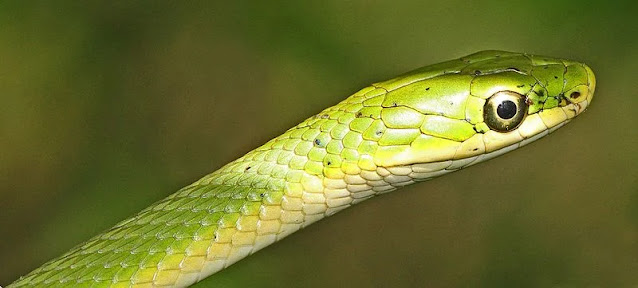 Rough Green Snake Care Opheodrys aestivus
