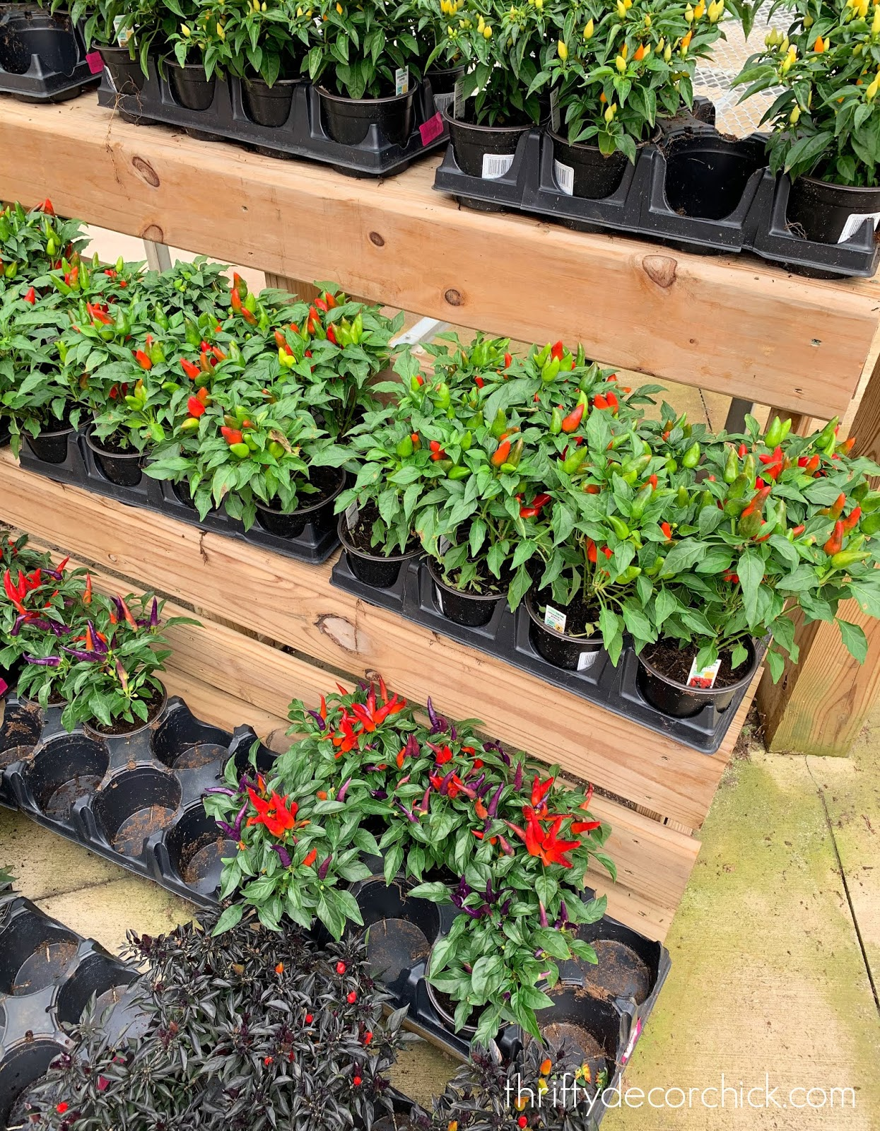 Peppers for fall planters and boxes