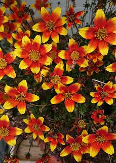 Bidens blomstrer i gult og rødt