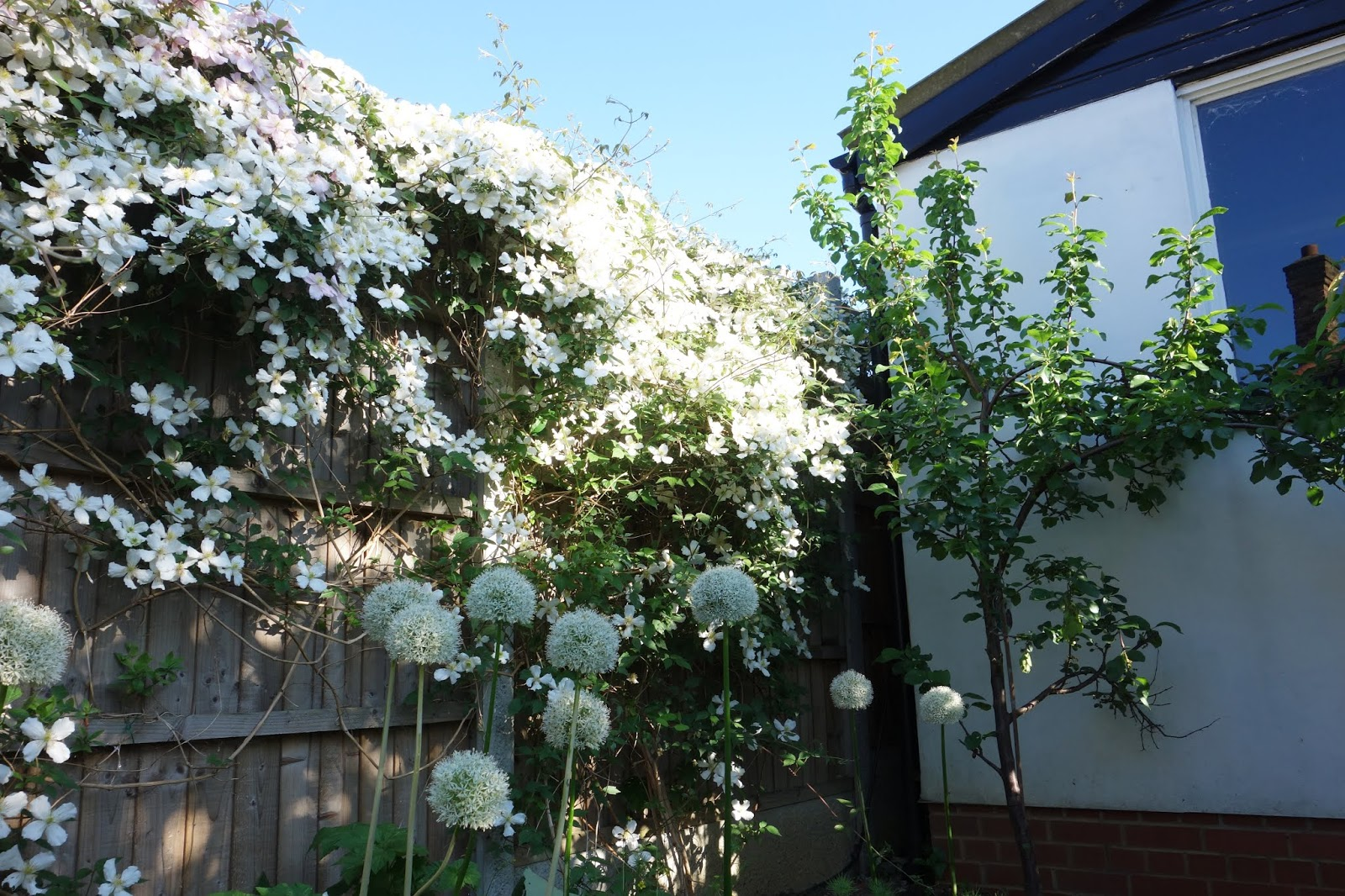 A white Clematis Montana on a fence with white alliums in the foreground. London, UK. Copyright: Is This Mutton