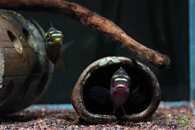 Pelvicachromis sacrimontis spawning