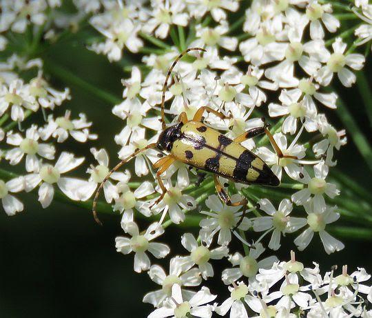 Baldurek pstrokaty, strangalia plamista (Rutpela maculata).