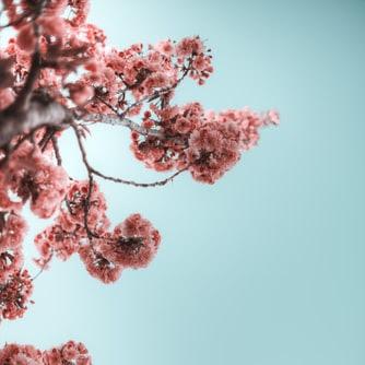 観賞用の桜の壁紙