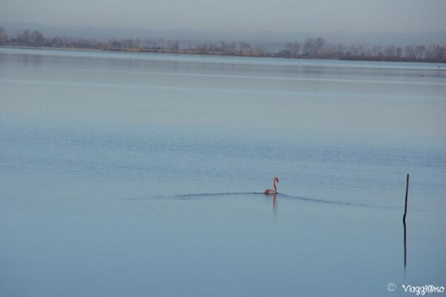 Un fenicottero nuota nell'Etang de Vaccares