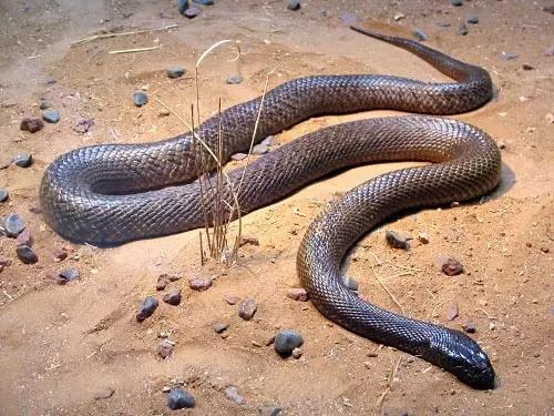 gambar reptil taipan pedalaman