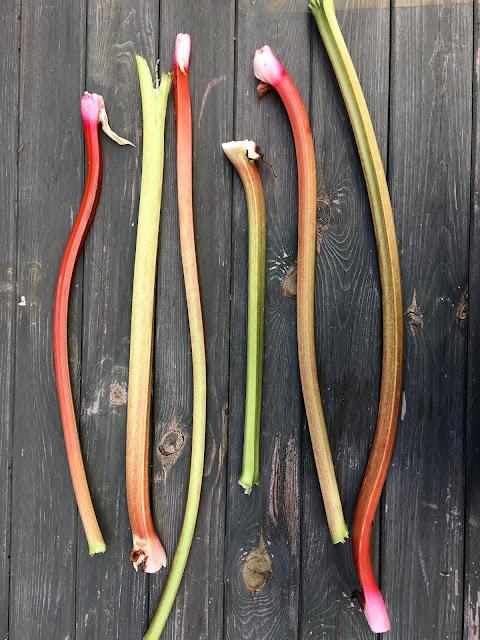 Rhabarberstangen aus dem eigenen Garten- Ernte!